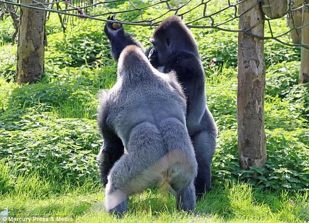 Hai con khỉ đột đấu quyền anh để tranh giành thức ăn - Ảnh 2.