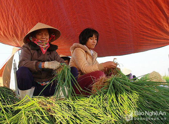 Làng rau khủng nhất xứ Nghệ ngày cuối năm đẹp rực rỡ - Ảnh 3.