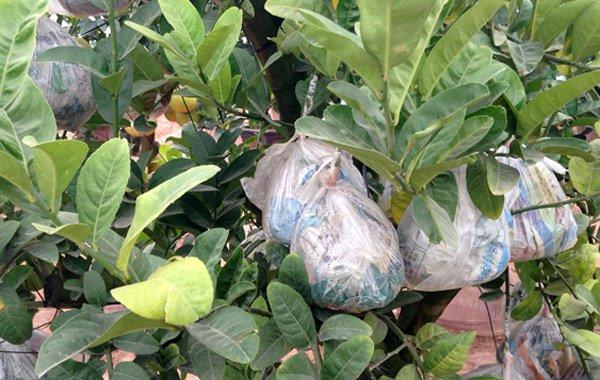 Cảnh lạ: Hàng ngàn quả bưởi 'đắp mặt nạ' đợi Tết - ảnh 4
