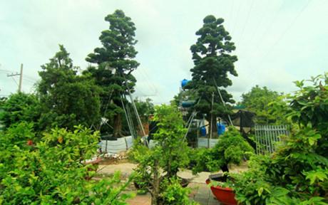 Mãn nhãn với những vườn cây tiền tỉ - Ảnh 4.
