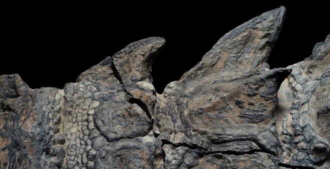 Phát hiện một hóa thạch khủng long được bảo quản đặc biệt tốt ở Alberta, trông giống hệt như đang còn sống - Ảnh 4.