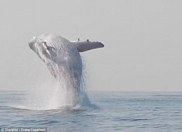 Cảnh tượng chưa từng thấy: Con cá voi lưng gù nặng 40 tấn phi thân khỏi mặt nước - Ảnh 3.