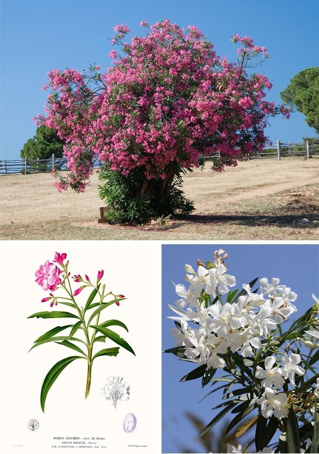 Đừng dại động vào những loài cây này vì chúng đẹp nhưng độc không tưởng - Ảnh 4.