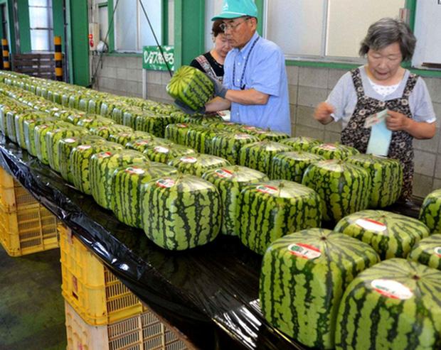 Đây mới là lý do thật sự khiến người Nhật Bản trồng dưa hấu vuông - Ảnh 3.
