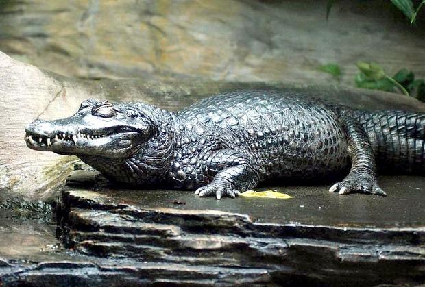 Trăn Anaconda hung bạo là thế nhưng cũng phải khuất phục trước 2 hung thần Amazon này - Ảnh 5.