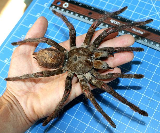 Truy tìm tông tích những quái nhện khổng lồ ăn thịt người thời cổ đại - Ảnh 5.