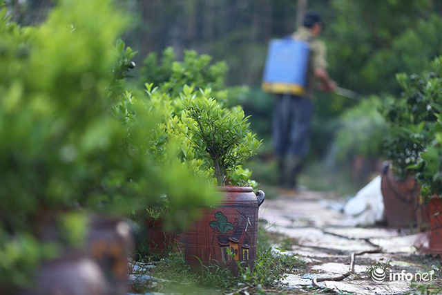 Người trồng quất méo mặt vì nước sông Hồng dâng cao - Ảnh 5.