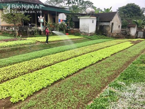 Cả xóm hò nhau trồng rau sạch, ăn thả ga còn bán có tiền rủng rỉnh - Ảnh 1.