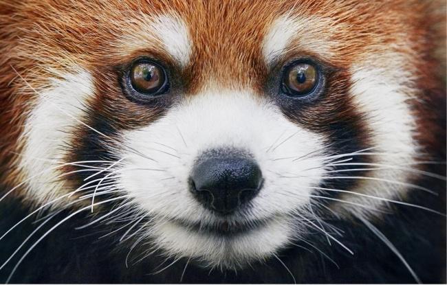 Động lòng ánh mắt trong bộ ảnh các loài động vật có nguy cơ tuyệt chủng - Ảnh 5.