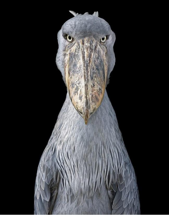 Động lòng ánh mắt trong bộ ảnh các loài động vật có nguy cơ tuyệt chủng - Ảnh 6.