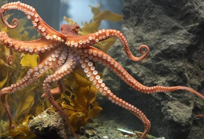 Gia đình cứu 1 con bạch tuộc, điều bất ngờ xảy ra vào hôm sau làm họ nhớ cả đời - Ảnh 1.
