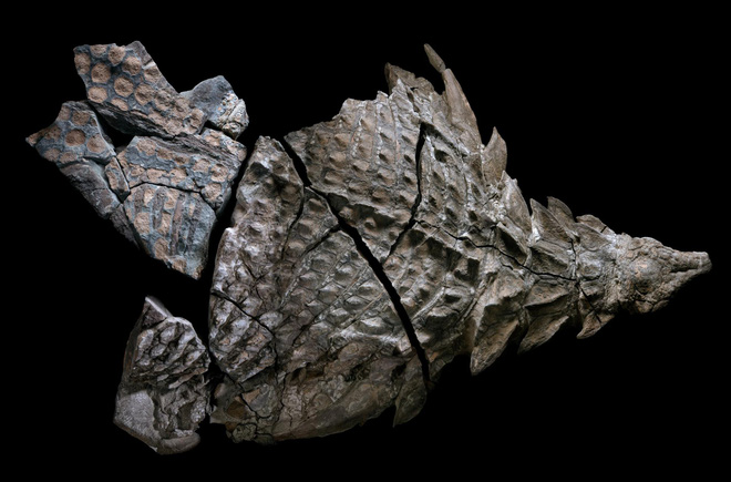 Phát hiện một hóa thạch khủng long được bảo quản đặc biệt tốt ở Alberta, trông giống hệt như đang còn sống - Ảnh 7.