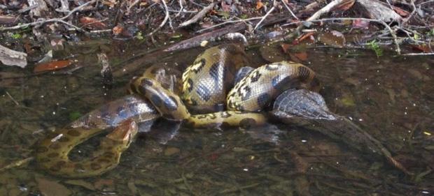 Trăn Anaconda hung bạo là thế nhưng cũng phải khuất phục trước 2 hung thần Amazon này - Ảnh 7.