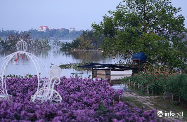 Người trồng quất méo mặt vì nước sông Hồng dâng cao - Ảnh 7.