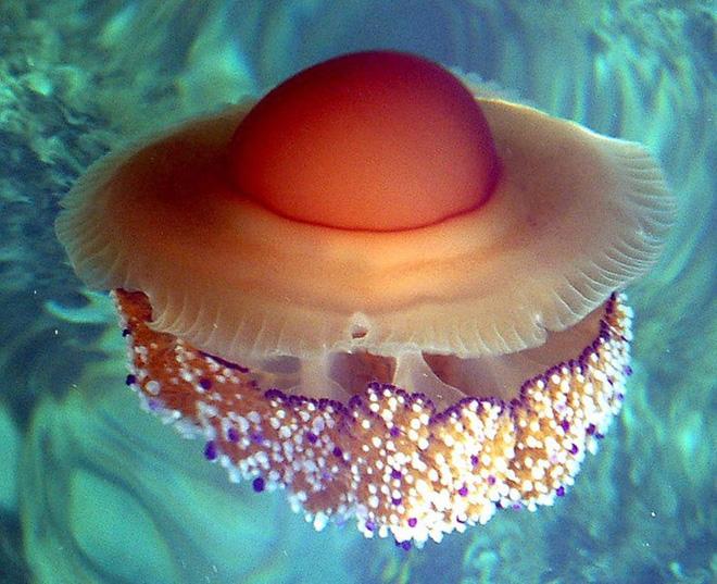 Thấy quả trứng chiên kỳ lạ trôi dưới lòng đại dương, nhiếp ảnh gia giật mình khi lại gần - Ảnh 8.