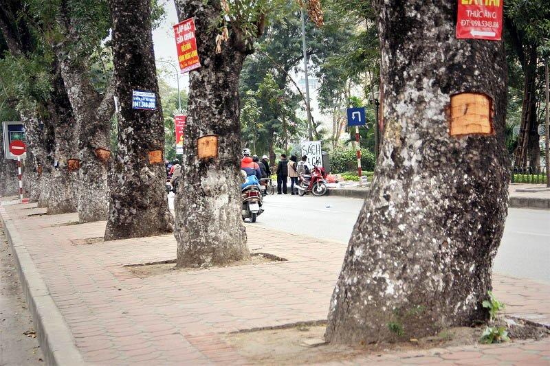 Hà Nội: Loạt Cây Xà Cừ Bị Đục Khoét Trên Đường Láng - Ảnh 7