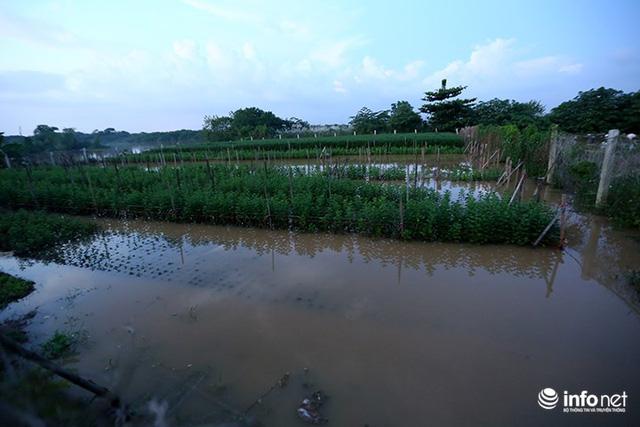 Người trồng quất méo mặt vì nước sông Hồng dâng cao - Ảnh 10.