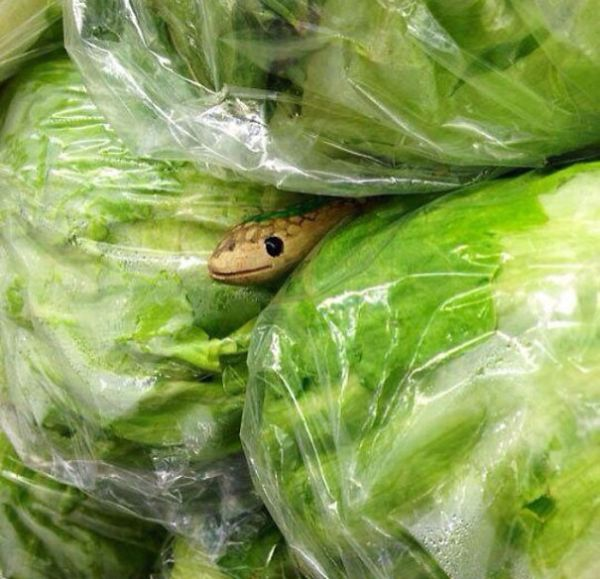 Trong rau có rắn kìa!