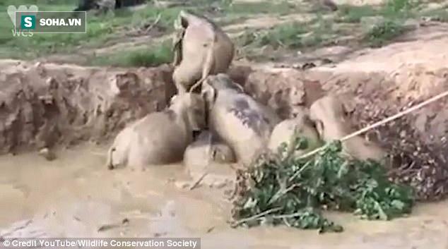 Đứng trước nguy cơ chết đói, 11 con voi đồng tâm hiệp lực vượt hố tử thần - Ảnh 1.