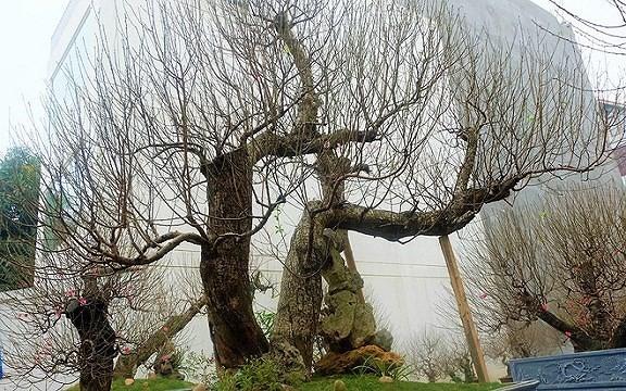 Mua gốc đào rừng ghép cành đào Nhật Tân, 1 vốn 10 lời - Ảnh 1.