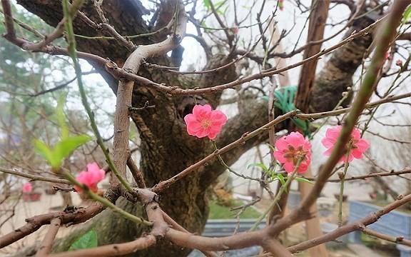 Mua gốc đào rừng ghép cành đào Nhật Tân, 1 vốn 10 lời - Ảnh 2.