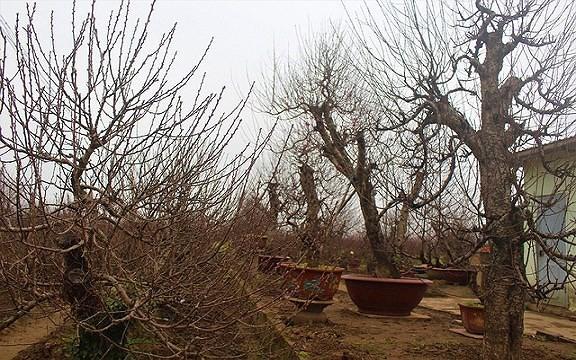 Mua gốc đào rừng ghép cành đào Nhật Tân, 1 vốn 10 lời - Ảnh 6.