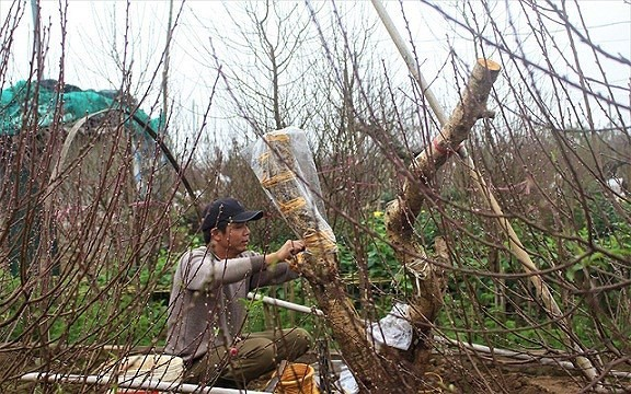 Mua gốc đào rừng ghép cành đào Nhật Tân, 1 vốn 10 lời - Ảnh 7.