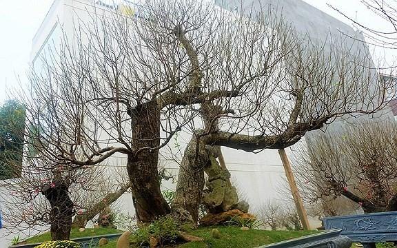 Mua gốc đào rừng ghép cành đào Nhật Tân, 1 vốn 10 lời - Ảnh 10.