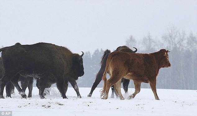 Bò cái nổi loạn bỏ nhà đến sống cùng đàn bò rừng và cái kết sắp không có hậu - Ảnh 3.