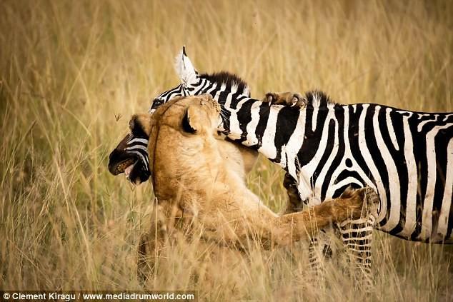 Sư tử vật vã tấn công, mím môi chịu đâu để hạ gục được con mồi - Ảnh 6.