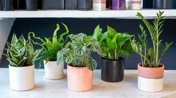 Những lỗi trồng cây phong thủy trong nhà khiến gia đình tiêu hao tài lộc - Ảnh 1