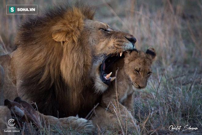 Cả nhà sư tử, hết chồng đến vợ thi nhau trèo cây để lấy phần quà đặc biệt - Ảnh 1.