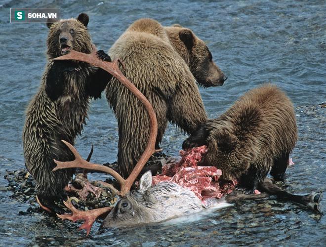 Tuần lộc húc văng gấu xám xuống nước: Kẻ thua cuộc trả giá bằng cả tính mạng! - ảnh 1