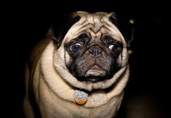"""Khoa học chứng minh: Trí tuệ của chó chỉ thuộc loại bình thường"""" trong thế giới động vật, dốt hơn cả mèo - Ảnh 1."""