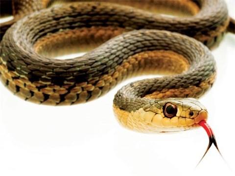 Những huyền thoại rắn khổng lồ ở Việt Nam - Ảnh 1.