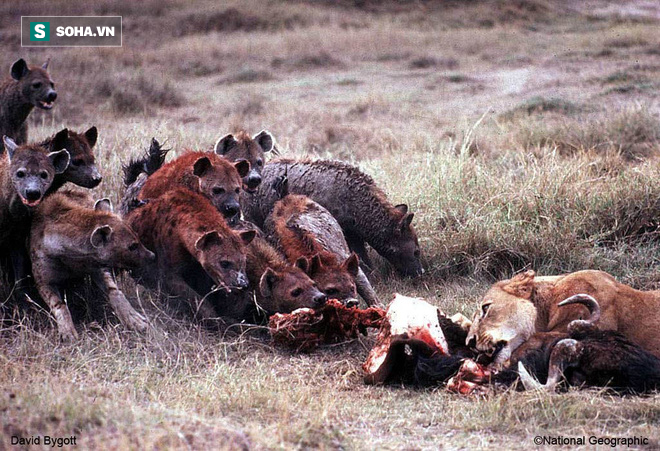 Linh cẩu thường ăn cắp thức ăn của sư tử. Ảnh: Nat Geo
