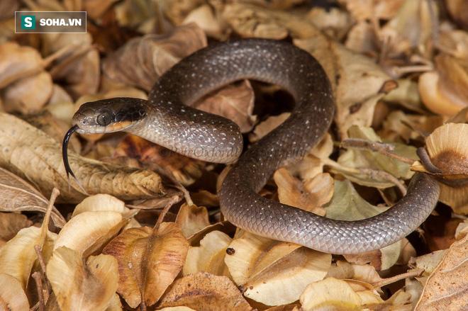 Hiếm thấy: Rắn cây giết chết rắn độc và hành động trái với thói quen hàng ngày - ảnh 1
