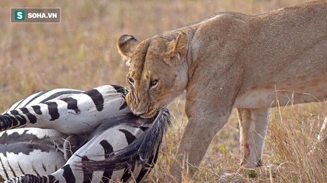 Đá hậu: Thứ vũ khí giúp ngựa vằn không chỉ thoát chết mà còn tẩn được cả sư tử - Ảnh 1.