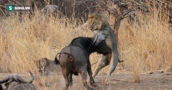 Đấu với trâu rừng, sư tử bị húc ngã chổng vó: Phút cuối là pha bẽ mặt của vua đồng cỏ - Ảnh 1.