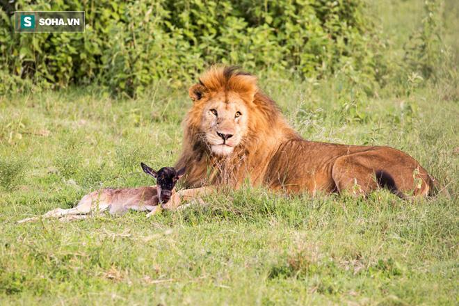 Vừa chào đời đã bị sư tử bắt, linh dương con đoàn tụ mẹ một cách khó tin - Ảnh 1.