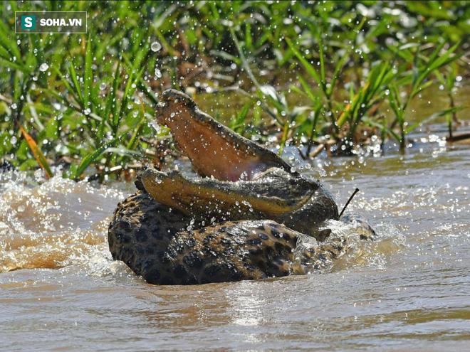 Cá sấu bị báo đốm tấn công. Ảnh: Sciences et Avenir