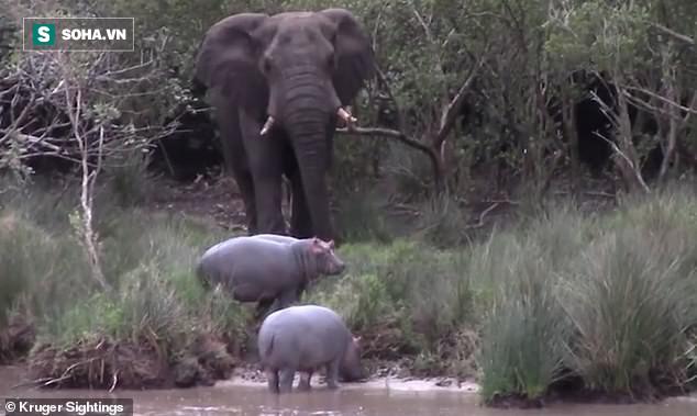 Bị chọc tức, voi lớn nổi giận đạp đổ cây hăm dọa, thủ phạm chỉ biết cắm đầu chạy - Ảnh 2.