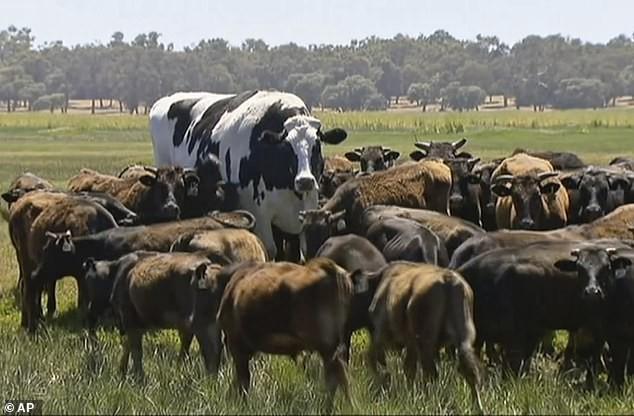 Hãi hùng bò đột biến gien, cơ bắp nổi cuộn như lực sĩ - Ảnh 2.