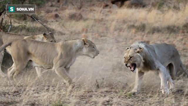 Vừa săn mồi thành công, cả bầy sư tử bỗng xúm lại làm hành động khó hiểu - Ảnh 1.