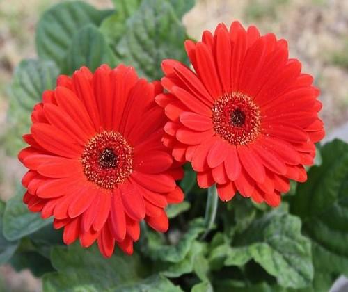 Những loại hoa mang tài, rước lộc vào nhà nhất định phải trưng ngày Tết - Ảnh 4.