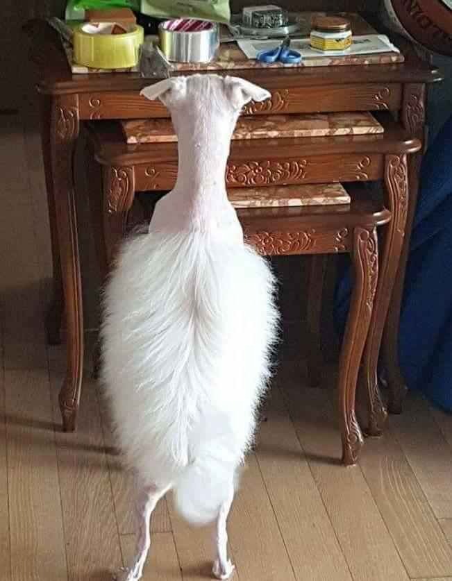 Chú chó trắng và bộ lông gây ồn ào trên mạng xã hội - Ảnh 2.