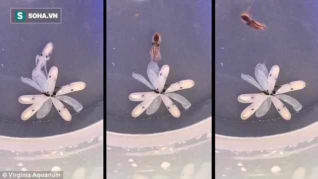 Khoảnh khắc kỳ diệu của bạch tuộc Caribean khi vừa mới ra đời đã biết ngụy trang - ảnh 1