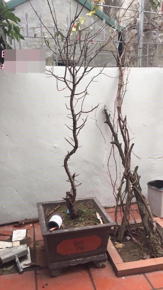 Đu đủ nguyên cây, chậu súp lơ - những cây cảnh gây sốt trong ngày Tết 2018 - ảnh 10