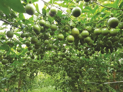 Vượt qua gạo, dầu thô: Khát vọng 10 tỷ USD của trái cây Việt  - Ảnh 2.