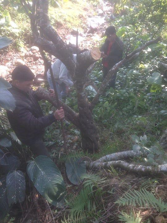 Đào rừng xuống phố giá hơn 100 triệu đồng vẫn hút khách - Ảnh 1.